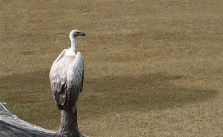 Vulture sitting on pole, waiting for pray. Stock Photo