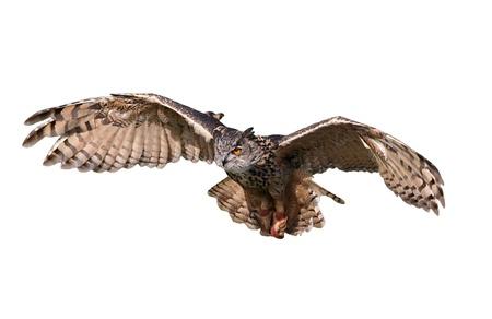 sowa: Latający sowa wyciąć i na białym tle.