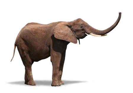 スイング彼のトランクを白で隔離されるうれしそうな象