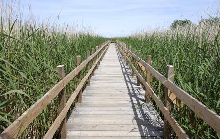 Walking bridge leading out into wild field of Reed plants