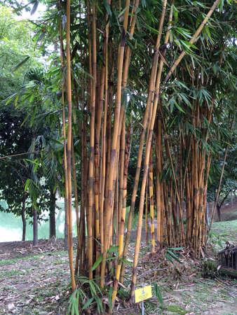 Tall bamboo tree