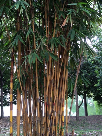 Bamboo trees with lake in background