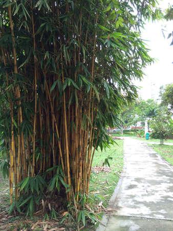 보도 옆에있는 대나무