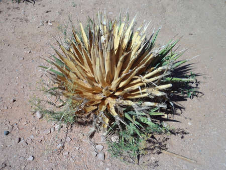 Dried up plant in desert