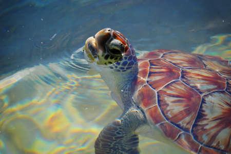 Baby Sea Turtle Swimming Banco de Imagens