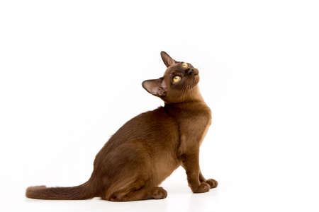 Chat birman brun. Joli chaton mignon. Sur fond blanc. Place pour insérer du texte. Pour la publicité, les bannières et les messages. Pour les cliniques vétérinaires, vente d'aliments pour animaux et accessoires pour animaux.