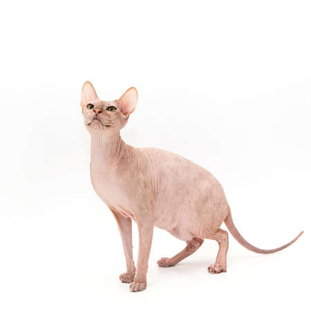 Sphynx kitten isolated on white. For advertising, posters and messages