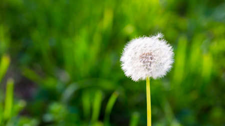 White dandelion on a background of green grass. Spring and summer background. Element of design. Background for social networks. Natural spring background.