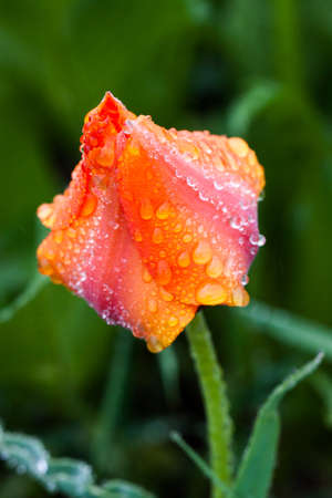 Red mountain tulip against a bright green grass. In the drops of morning dew. Spring background. Background for social networks. Natural spring background.