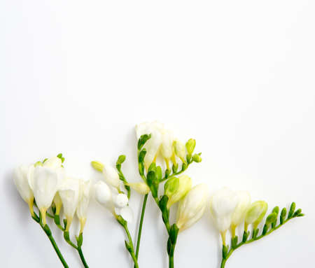 Spring background. Beautiful spring freesia flowers on a white background. Place for text, close-up.