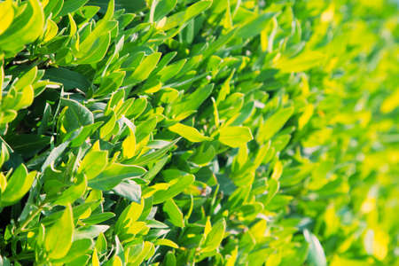 Texture of bright green tropical leaves. Summer vegetative background. Natural summer and spring background.