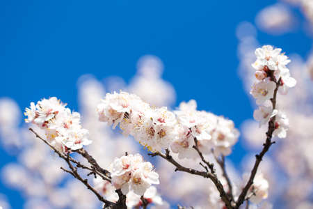 Spring flowers. Branches of flowering apricot against the blue sky. White blossom. Spring background. Cherry blossoms.