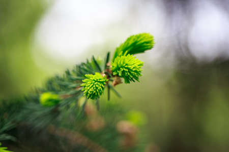 Young green sprig of spruce. Spring fresh background.