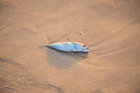 dead fish lies in the sand. environmental problems and clean water. corpse of fish Archivio Fotografico