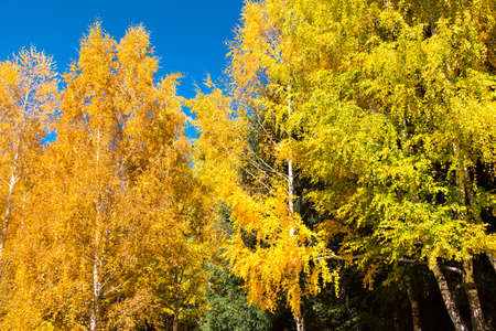 Autumn. Beautiful yellow birch leaves and branches of larch trees on a background of blue clear sky. Natural background. Place to insert text.