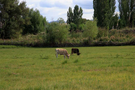 cows and horses graze in a meadow in green grass. agriculture, summer day in the pasture