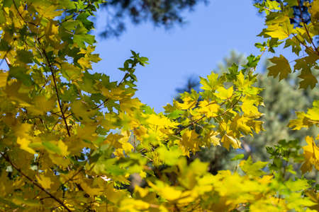 autumn background. yellow leaves on a background of blue sky. natural background.