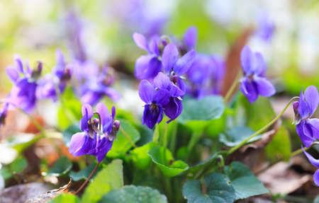 Spring flowers. Violet violets flowers bloom in the spring forest. Viola odorata. Banque d'images