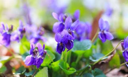 Spring flowers. Violet violets flowers bloom in the spring forest. Viola odorata.