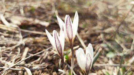 Wild mountain crocus. Spring primrose. Early flower.