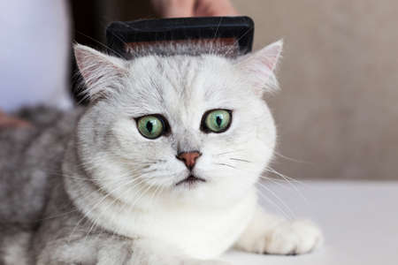 Cat grooming. Combing the hair of a beautiful british kitten. Care for animals. Stock Photo