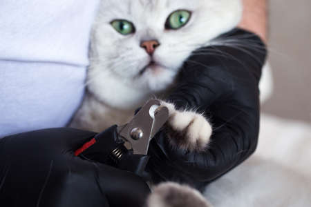 Cat grooming. A white British cat has its nails trimmed. Imagens