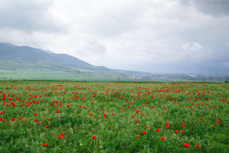 Beautiful spring valley with green grass and blooming red poppies. Against the background of mountains. Summer landscape. Kyrgyzstan