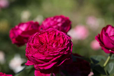 Bright red roses. Background of blooming roses flowers. Sunny natural light. Banque d'images