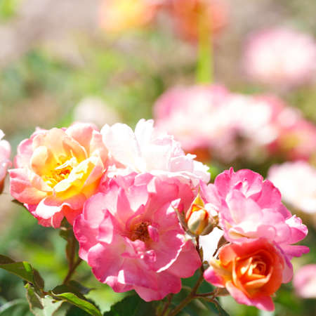 Roses. Delicate background with blooming rose flowers. Rose garden