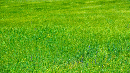 texture of grass and green wheat bread. natural background.