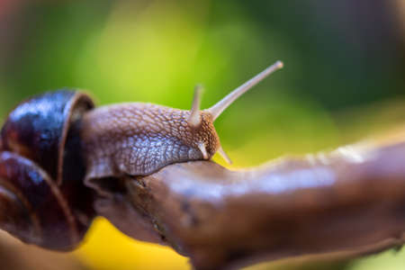 Large snail on a tree branch. Burgudian, grape or Roman edible snail from the Helicidae family. Air-breathing gastropods.