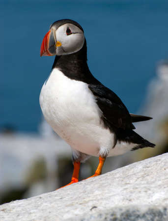 puffin: Atlantic puffins are endangered parrot-like seabirds found in maines northern coast. Stock Photo