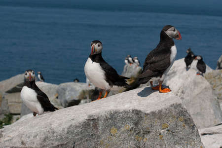 puffin: Three puffin birds guarding their nesting area on an island in Maine. Stock Photo