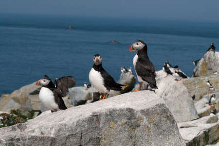 puffins: Three Atlantic puffins protecting their nesting area on an island in Maine. Stock Photo