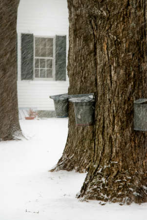 maple trees: Tapping maple trees for syrup during New England snowstorm.