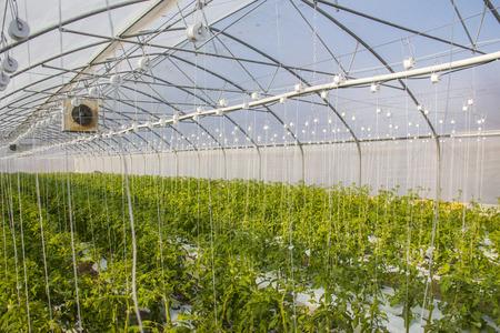 Wachsende Tomate im industriellen Maßstab, im Gewächshaus. Standard-Bild - 79348651