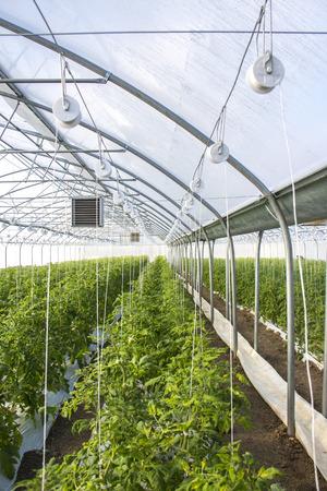 Wachsende Tomate im industriellen Maßstab, im Gewächshaus. Standard-Bild - 79348653