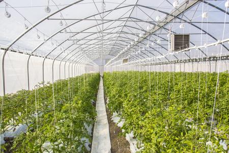Wachsende Tomate im industriellen Maßstab, im Gewächshaus. Standard-Bild - 79348656