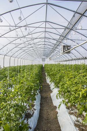 Reihen von Tomatenpflanzen im Gewächshaus Standard-Bild - 80026940