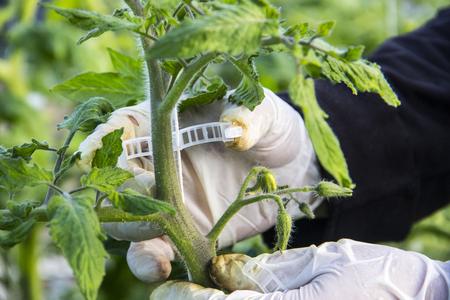 Wachsende Tomate im industriellen Maßstab, im Gewächshaus. Standard-Bild - 79348658