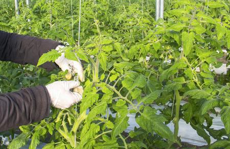 Wachsende Tomate im industriellen Maßstab, im Gewächshaus. Standard-Bild - 79348650