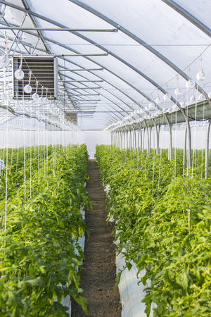 footage: Rows of tomato  plants in greenhouse