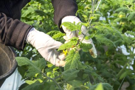 Wachsende Tomate im industriellen Maßstab, im Gewächshaus. Standard-Bild - 79348660