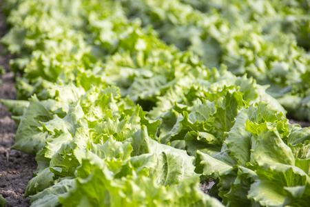 Closeup von grünen Salat Pflanzen auf dem Bauernhof Standard-Bild - 81046217