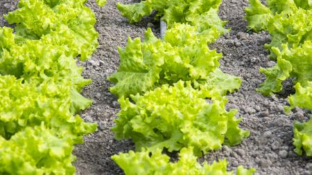 Closeup von grünen Salat Pflanzen auf dem Bauernhof Standard-Bild - 81046224