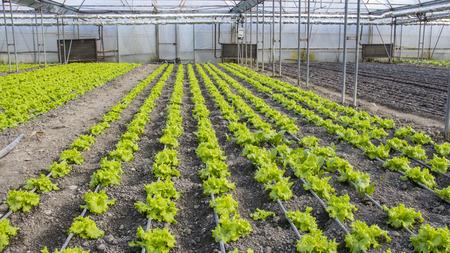 Reihen von Grün und von Anlagen auf modernem Bauernhof für wachsenden Kopfsalat Standard-Bild - 79170363