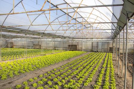 Grüne Reihen und Pflanzen auf modernem Bauernhof für den Anbau von Salat Standard-Bild - 79170362