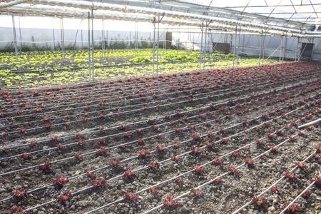 Reihen von Rot und Pflanzen auf modernem Bauernhof für den Anbau von Salat Standard-Bild - 79170356