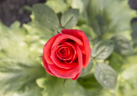 Nahaufnahme der roten rosafarbenen Anlage auf unscharfem Hintergrund Standard-Bild - 79139261
