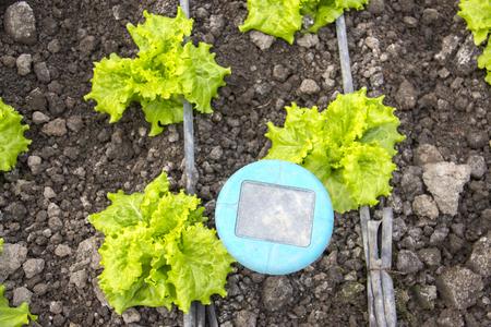 Closeup von grünen Salat Pflanzen auf dem Bauernhof Standard-Bild - 80989107